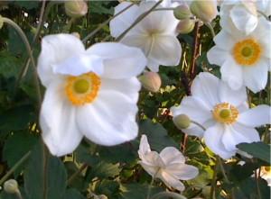 j.anemone photo